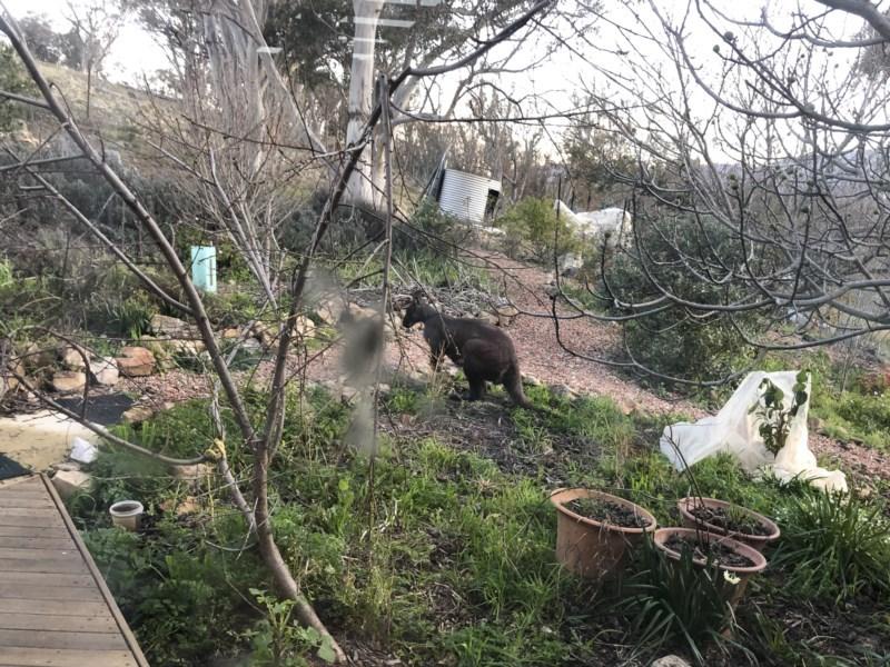 Macropus robustus at Illilanga & Baroona - 31 Jul 2020