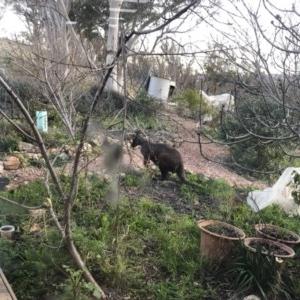 Macropus robustus at Michelago, NSW - 31 Jul 2020