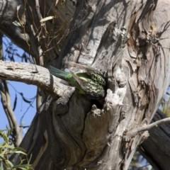 Platycercus eximius (Eastern Rosella) at Michelago, NSW - 8 Dec 2020 by Illilanga