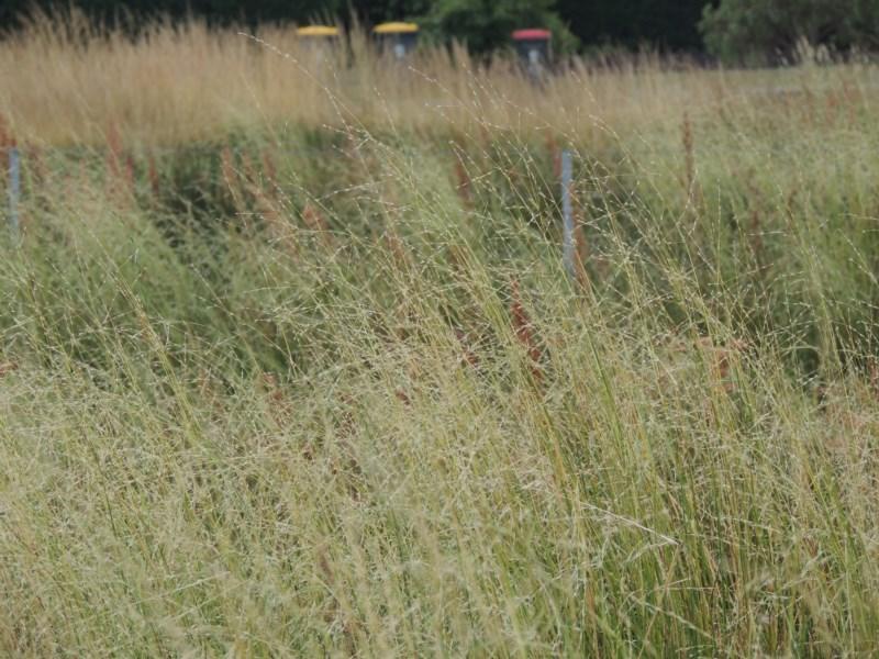 Amphibromus sp. at Franklin Grassland Reserve - 10 Dec 2020