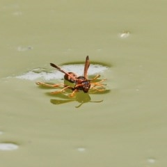 Polistes (Gyrostoma) erythrinus (Red paper wasp) at National Zoo and Aquarium - 14 Dec 2020 by RodDeb