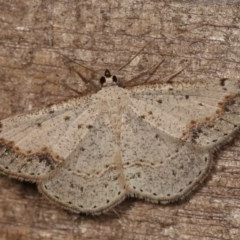 Taxeotis intextata (Looper Moth, Grey Taxeotis) at Melba, ACT - 18 Nov 2020 by kasiaaus