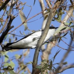 Lalage tricolor (White-winged Triller) at Michelago, NSW - 16 Nov 2020 by Illilanga