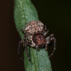 Cymbacha sp (genus) (A crab spider) at Melba, ACT - 18 Nov 2020 by kasiaaus