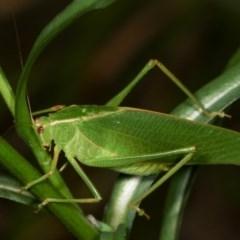 Caedicia simplex (Common Garden Katydid) at Melba, ACT - 18 Nov 2020 by kasiaaus