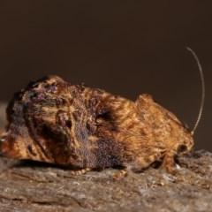 Peritropha oligodrachma (A twig moth) at Melba, ACT - 18 Nov 2020 by kasiaaus