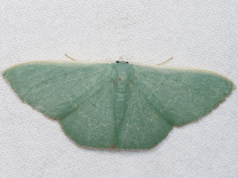 Prasinocyma semicrocea at Melba, ACT - 18 Nov 2020