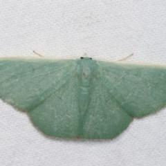 Prasinocyma semicrocea (Common Gum Emerald) at Melba, ACT - 18 Nov 2020 by kasiaaus
