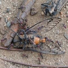 Psaltoda moerens (Redeye Cicada) at Dryandra St Woodland - 15 Dec 2020 by ConBoekel