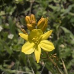 Bulbine bulbosa (Golden Lily) at Michelago, NSW - 22 Oct 2020 by Illilanga