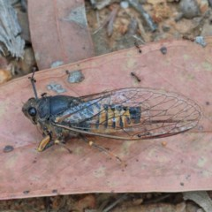 Yoyetta robertsonae (Clicking Ambertail) at Dryandra St Woodland - 15 Dec 2020 by ConBoekel