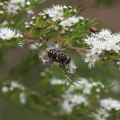 Scaptia sp. (genus) (March fly) at Cook, ACT - 14 Dec 2020 by Tammy