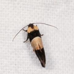 Eupselia axiepaena at Melba, ACT - 18 Nov 2020