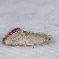 Eupselia melanostrepta (A Twig moth) at Melba, ACT - 18 Nov 2020 by kasiaaus