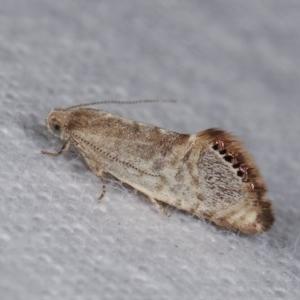 Eupselia melanostrepta at Melba, ACT - 18 Nov 2020