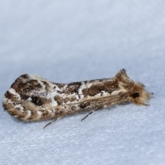 Moerarchis inconcisella (A tineid moth) at Melba, ACT - 18 Nov 2020 by kasiaaus