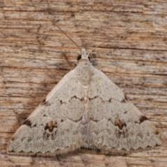 Dichromodes estigmaria (Pale Grey Heath Moth) at Melba, ACT - 18 Nov 2020 by kasiaaus