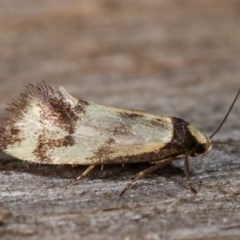 Olbonoma triptycha (Concealer moth) at Melba, ACT - 18 Nov 2020 by kasiaaus