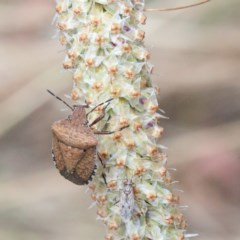 Dictyotus conspicuus (A shield or stink bug) at Dryandra St Woodland - 15 Dec 2020 by ConBoekel