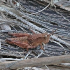 Phaulacridium vittatum (Wingless Grasshopper) at Dryandra St Woodland - 15 Dec 2020 by ConBoekel