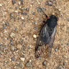 Psaltoda moerens (Redeye Cicada) at Holt, ACT - 14 Dec 2020 by Jenny54