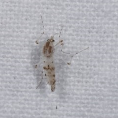 Chironomidae sp. (family) (Midge) at Melba, ACT - 18 Nov 2020 by kasiaaus