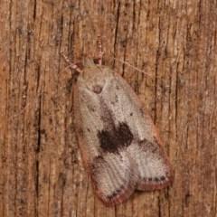 Garrha phoenopis (A Concealer moth) at Melba, ACT - 18 Nov 2020 by kasiaaus