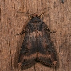 Agrotis ipsilon (Black Cutworm) at Melba, ACT - 18 Nov 2020 by kasiaaus