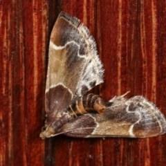 Pyralis farinalis (Meal Moth) at Melba, ACT - 18 Nov 2020 by kasiaaus