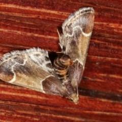 Pyralis farinalis at Melba, ACT - 18 Nov 2020