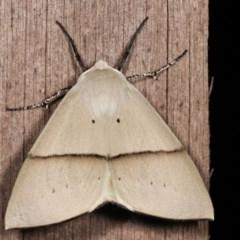 Gastrophora henricaria (Fallen-bark Looper, Beautiful Leaf Moth) at Melba, ACT - 18 Nov 2020 by kasiaaus