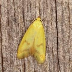 Aeolothapsa malacella (A Concealer moth) at Melba, ACT - 18 Nov 2020 by kasiaaus