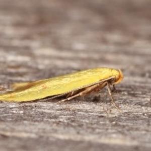 Aeolothapsa malacella at Melba, ACT - 18 Nov 2020