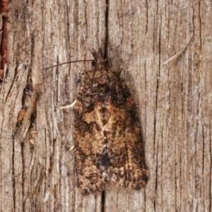 Isochorista sp.(genus) at Melba, ACT - 18 Nov 2020