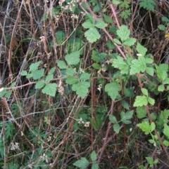 Rubus parvifolius (Native Raspberry) at Jones Creek, NSW - 11 Apr 2012 by abread111