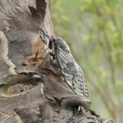 Psaltoda moerens (Redeye Cicada) at Mount Taylor - 10 Dec 2020 by MatthewFrawley