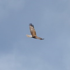 Circus approximans (Swamp Harrier) at Moss Vale - 16 Dec 2020 by Snowflake
