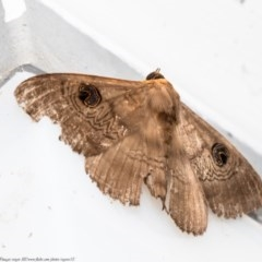 Dasypodia selenophora (Southern old lady moth) at ANBG - 14 Dec 2020 by Roger