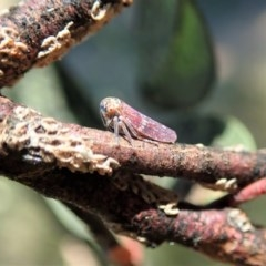 Katipo signoreti (Leafhopper) at Cook, ACT - 9 Dec 2020 by CathB