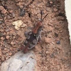 Phaulacridium vittatum (Wingless Grasshopper) at Acton, ACT - 15 Dec 2020 by Ned_Johnston