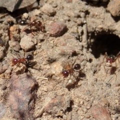 Melophorus perthensis (Field furnace ant) at Mount Painter - 11 Dec 2020 by CathB
