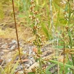 Gamochaeta americana (Cudweed) at Umbagong District Park - 16 Dec 2020 by tpreston