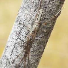 Tetragnatha sp. (genus) (Long-jawed spider) at Umbagong District Park - 16 Dec 2020 by tpreston