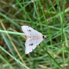 Dichromodes estigmaria (Pale Grey Heath Moth) at Murrumbateman, NSW - 15 Dec 2020 by SimoneC