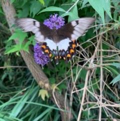 Papilio aegeus (Orchard Swallowtail) at Murrumbateman, NSW - 16 Dec 2020 by SimoneC
