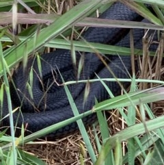 Pseudechis porphyriacus (Red-bellied Black Snake) at Murrumbateman, NSW - 16 Dec 2020 by SimoneC