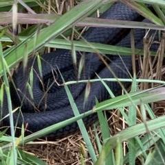 Pseudechis porphyriacus (Red-bellied Black Snake) at Murrumbateman, NSW - 16 Dec 2020 by SimoneC