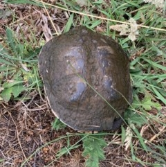 Chelodina longicollis (Eastern Long-neck Turtle) at Murrumbateman, NSW - 16 Dec 2020 by SimoneC
