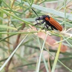 Rhinotia haemoptera (Lycid-mimic belid weevil, Slender Red Weevil) at Umbagong District Park - 16 Dec 2020 by tpreston