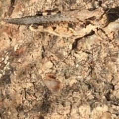 Pycnostictus seriatus (Common Bandwing) at Hughes Garran Woodland - 15 Dec 2020 by Tapirlord